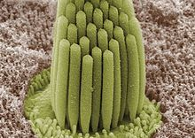 220px-Stereocilia_of_frog_inner_ear.01
